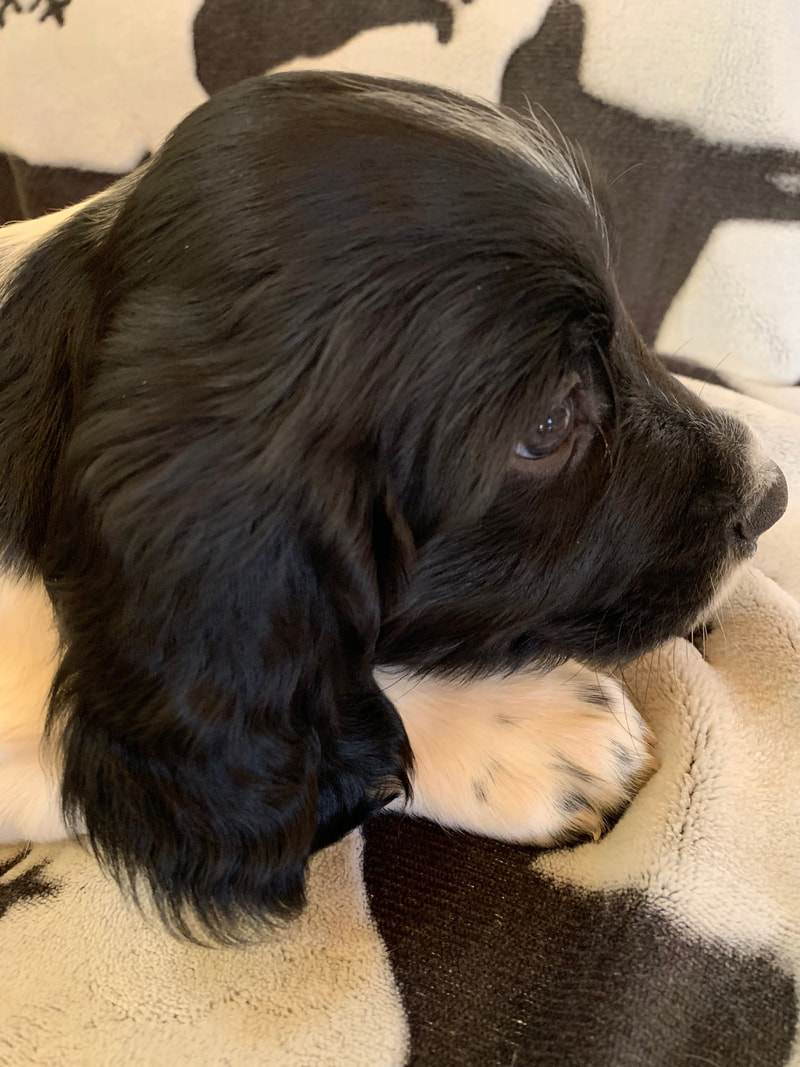 Available Puppies - Wyldwood Springer Spaniels